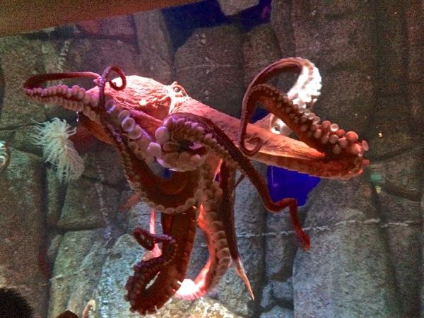 squid at aquarium