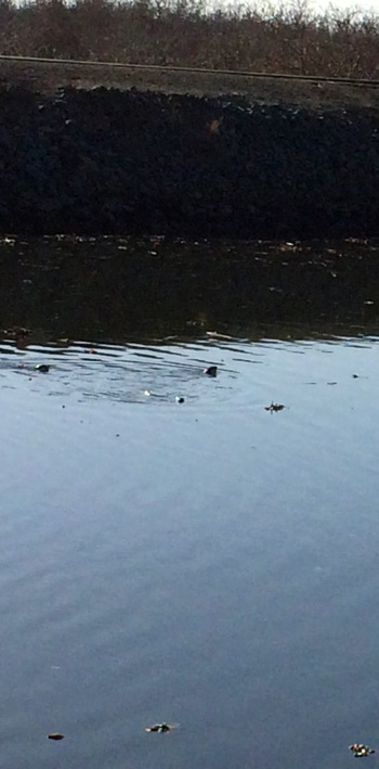 river otters_010514