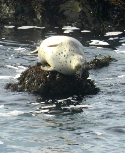 snoozing Harbor Seal