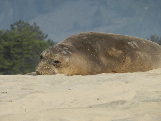 female elephant seal