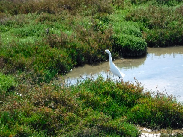 Egret at Baylands