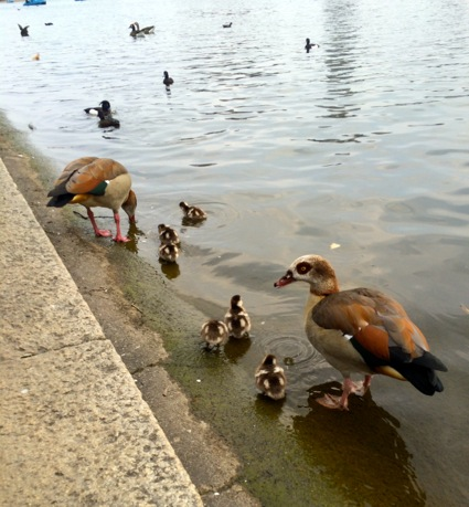 Ducks in Serpentine in Hyde Park