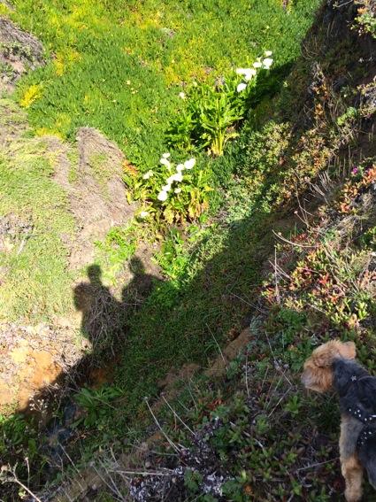 Calla lilies at Bean Hollow