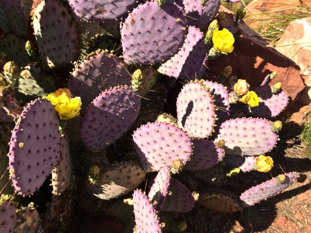 Purple cactus with yellow flowers