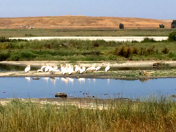 Pelicans at Baylands