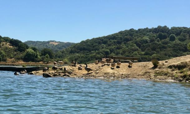 geese at Lake Chabot - 1