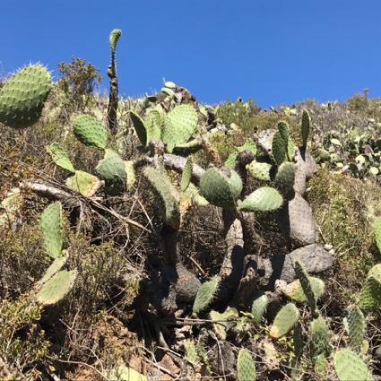 cactus at Garrapata - 1