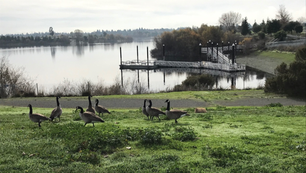 cat hanging with geese_Quarry Lakes - 1